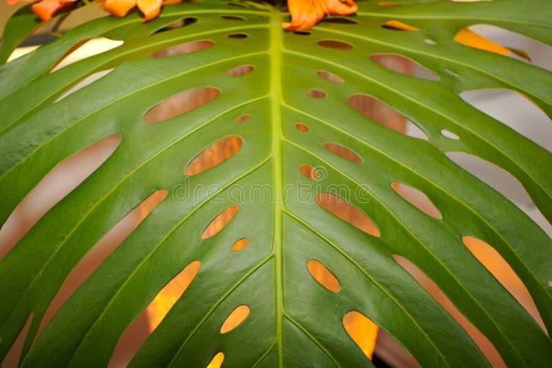 香蕉接近的叶子结构树 库存图片