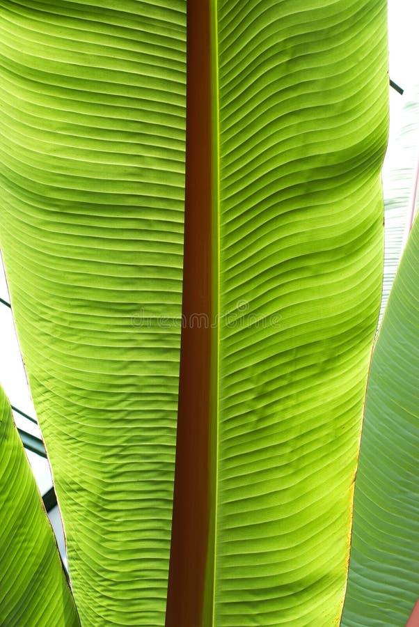 香蕉接近的叶子结构树 图库摄影