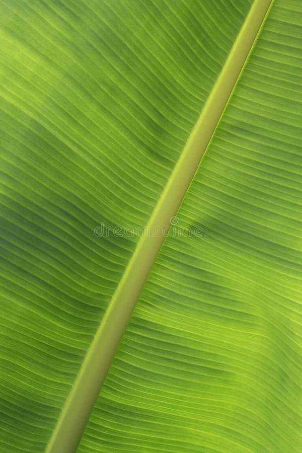 香蕉接近的叶子 库存图片