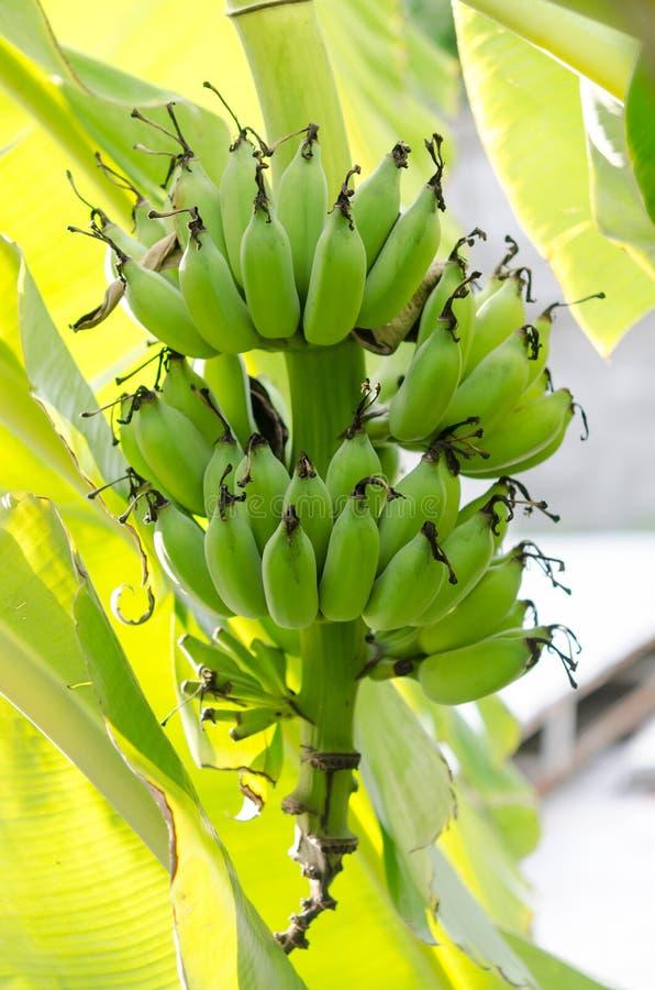 香蕉束结构树 库存照片