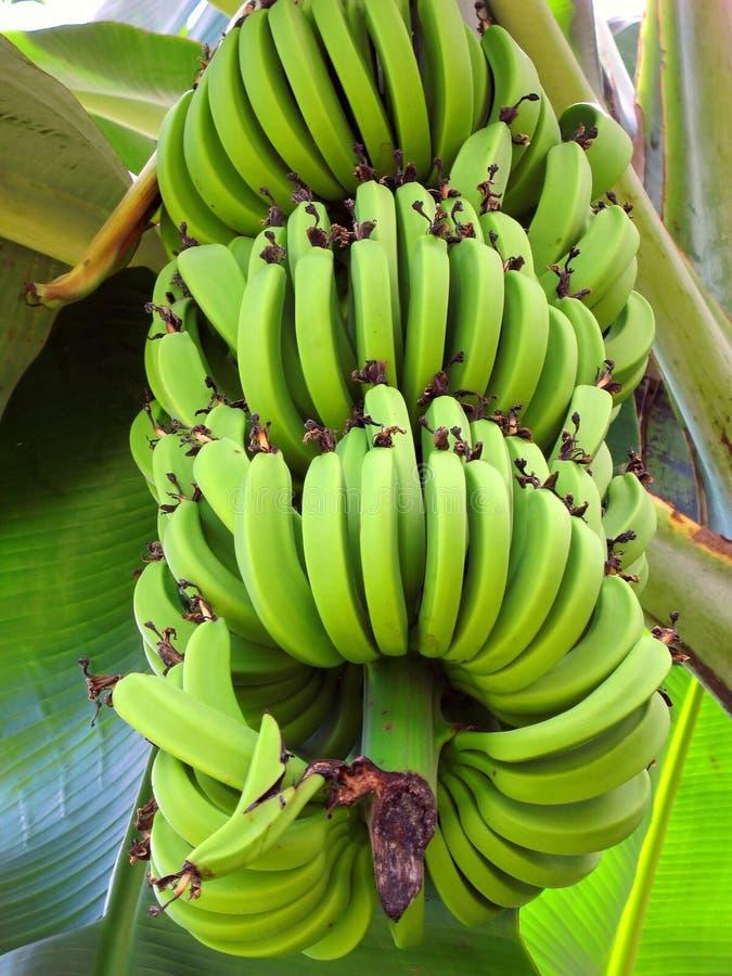 香蕉束起大 库存图片