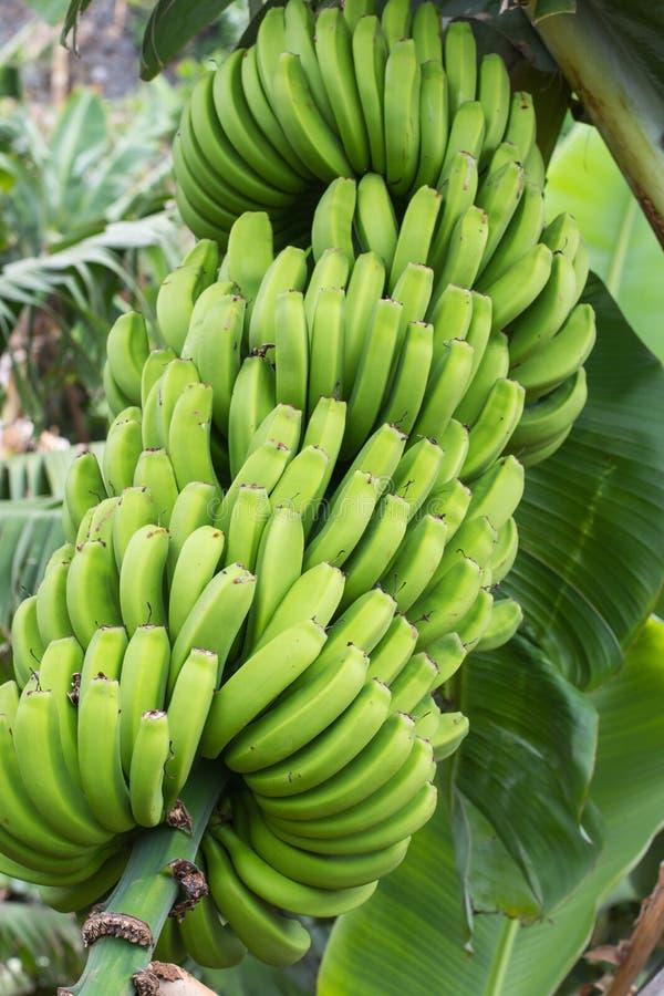 香蕉束绿色 库存图片