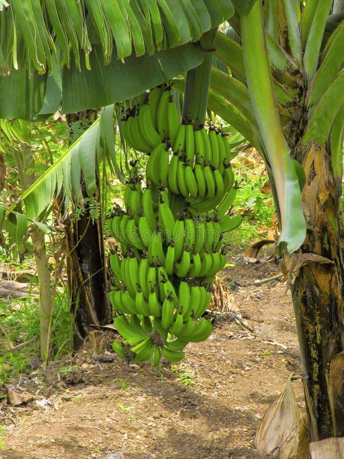 香蕉树和束天堂的芭蕉属 图库摄影