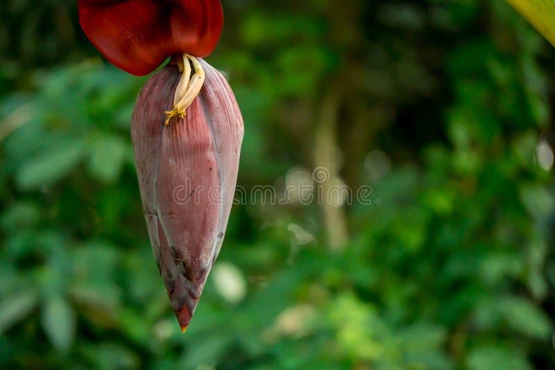 香蕉树在泰国的庭院里 库存图片