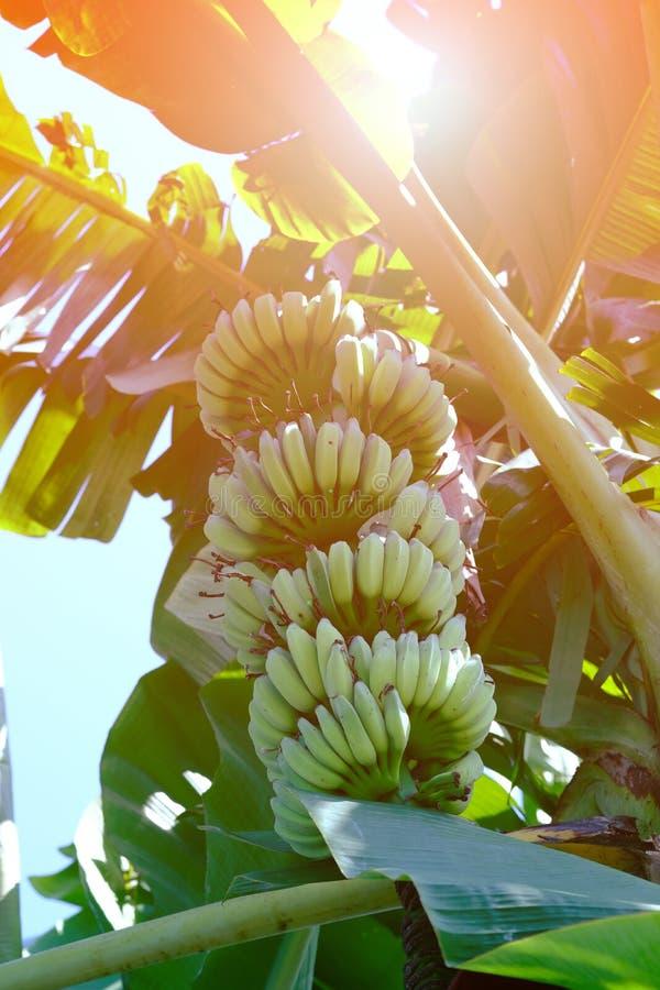 香蕉树是非常卓有成效的 免版税库存照片