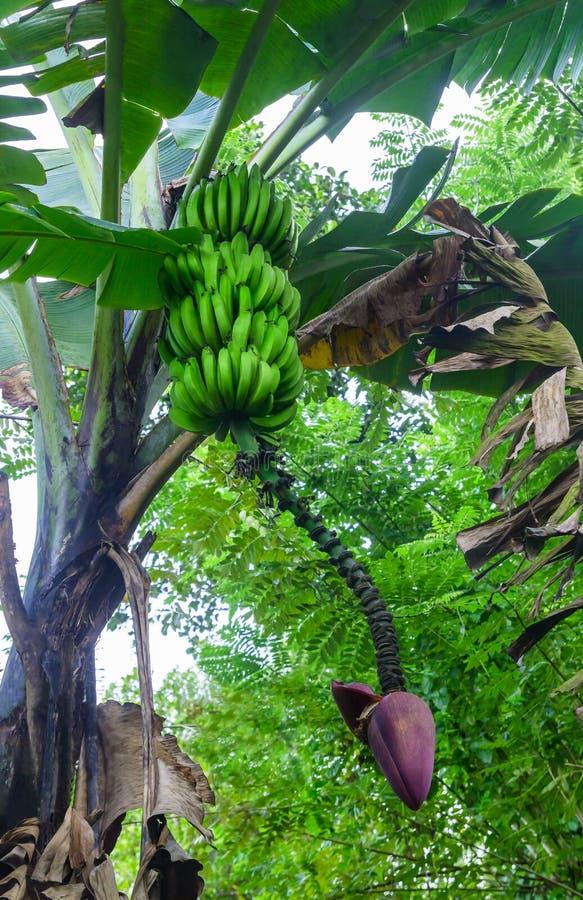 香蕉树用绿色香蕉 免版税库存照片