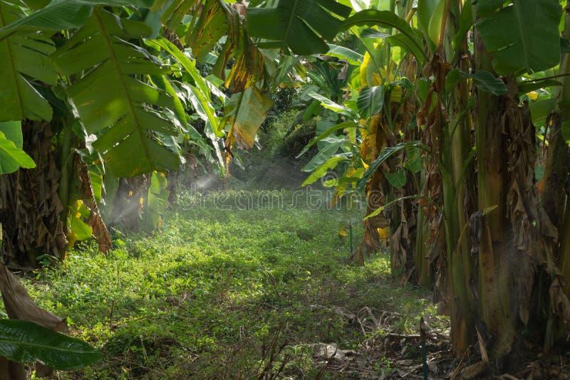 香蕉树的种植园 免版税库存图片