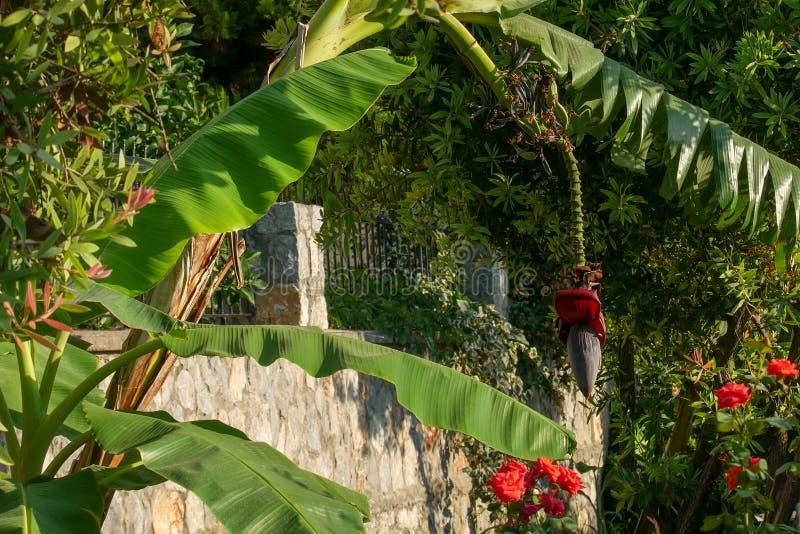 香蕉树花和小绿色香蕉 r 免版税图库摄影