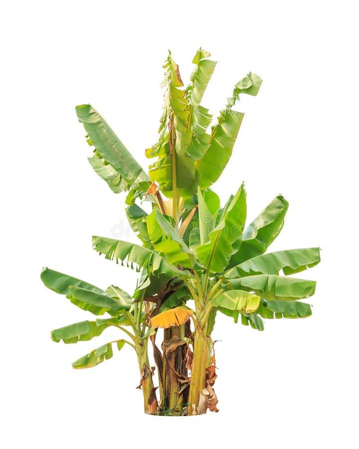 香蕉树,在白色隔绝的热带树 库存照片