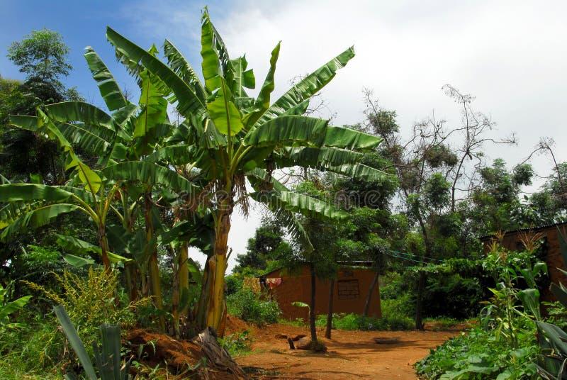 香蕉树 图库摄影