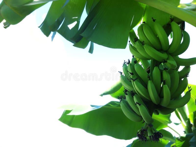 香蕉树 库存照片