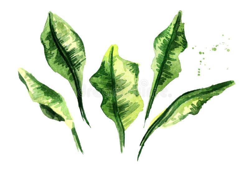 香蕉棕榈树叶子集合 水彩手拉的例证,隔绝在白色背景 皇族释放例证