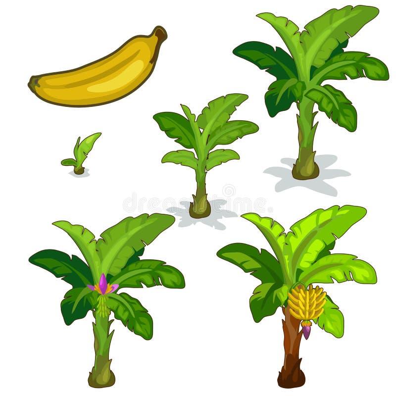 香蕉棕榈的种植和耕种 向量 皇族释放例证