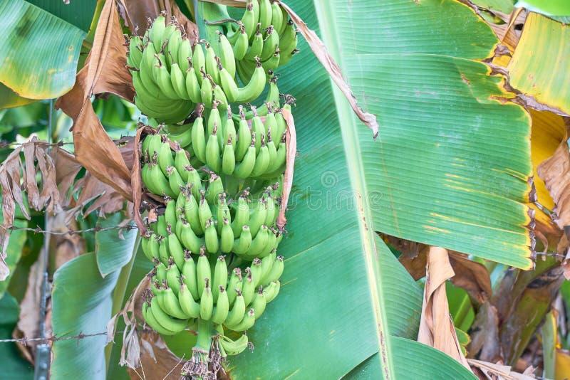 香蕉棕榈种植园,生长在香蕉棕榈分支的束绿色香蕉  自然纹理 库存照片