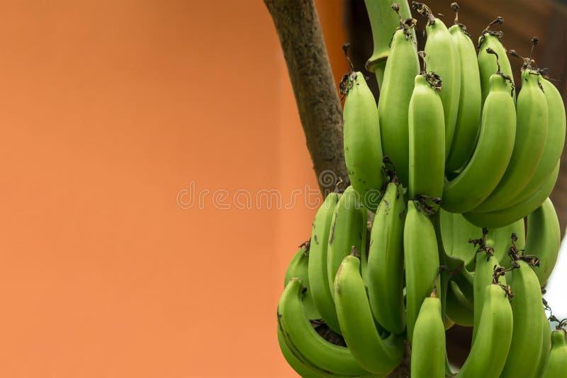 香蕉的分支绿化许多一个热带植物的果子未成熟的长的特写镜头棕色背景的 免版税图库摄影