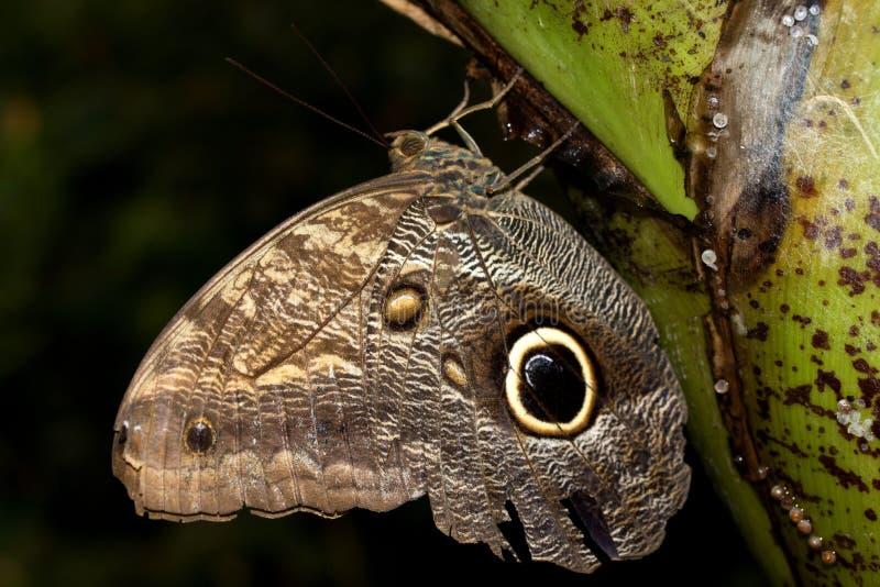 香蕉的总和侧视图蹒跚而行与在玻璃温室拍摄的闭合的翼的蝴蝶 免版税库存图片