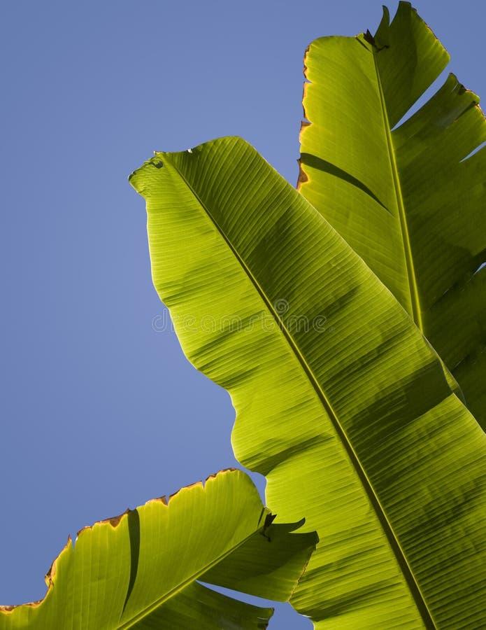香蕉离开棕榈树 库存图片