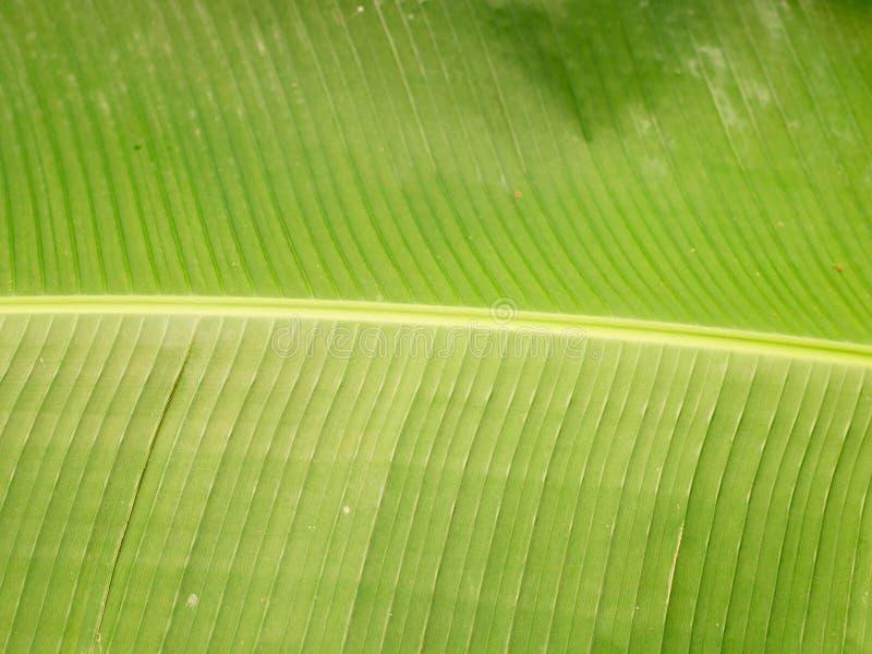 香蕉离开,背后照明新鲜的绿色叶子纹理背景  库存照片