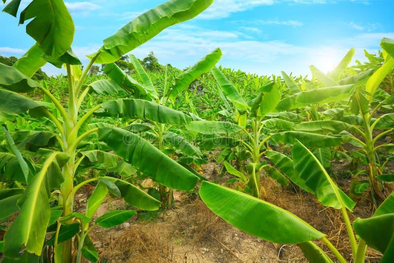 香蕉种植园 免版税库存照片