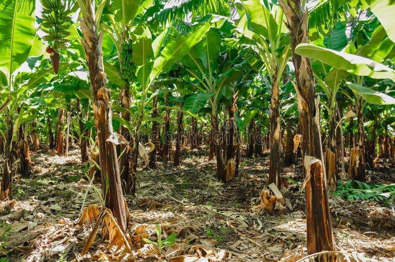 香蕉种植园 库存照片