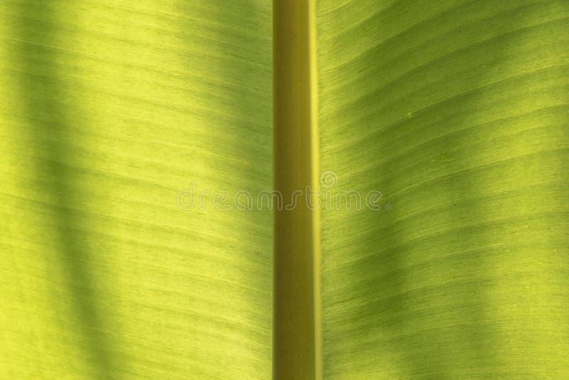 香蕉绿色事假的关闭 背景和纹理 免版税库存图片