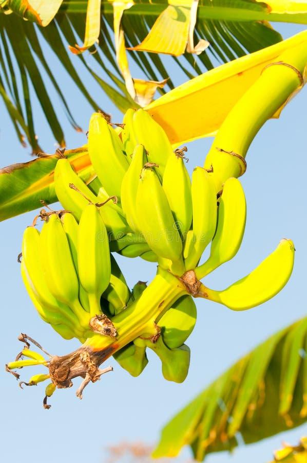 香蕉绿色树丛 库存照片