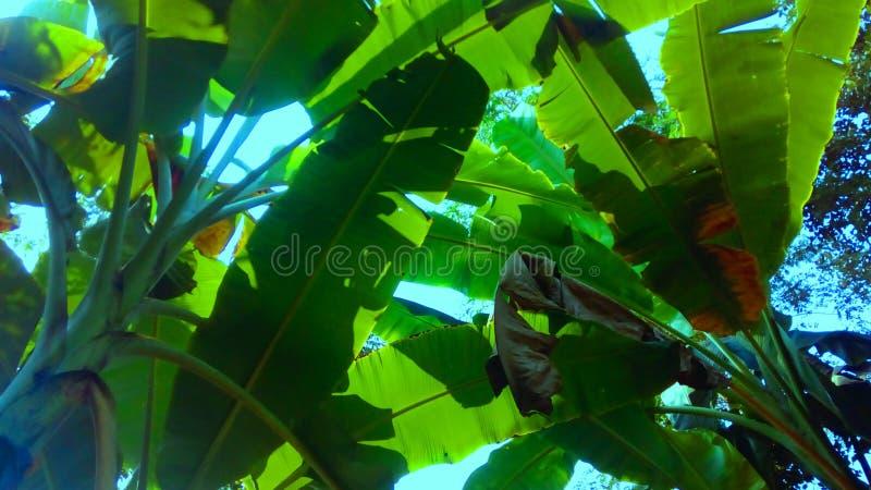 香蕉美丽的叶子 免版税库存图片