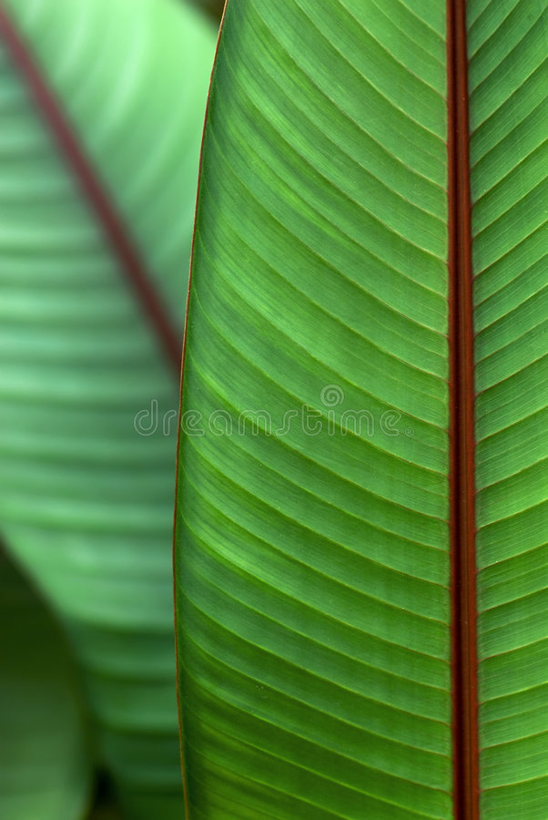 香蕉血液园林植物 库存照片