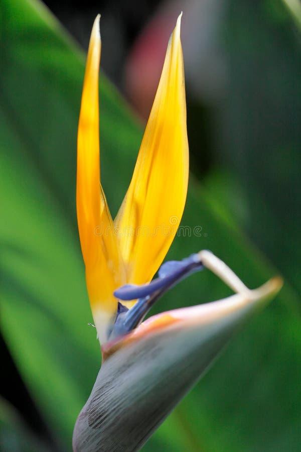 香蕉通配阿比西尼亚蕉树的ventricosum 图库摄影