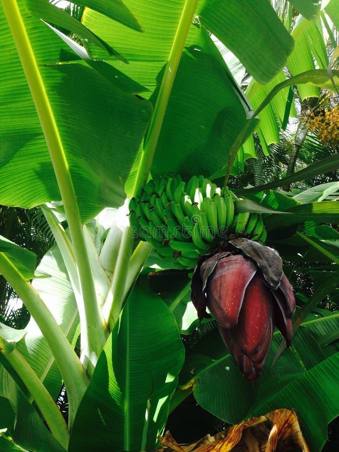香蕉非常绿色查找 图库摄影