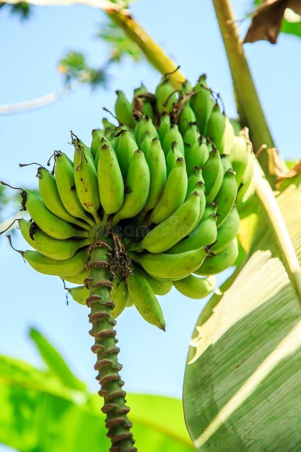 香蕉香蕉束起结构树 免版税库存图片