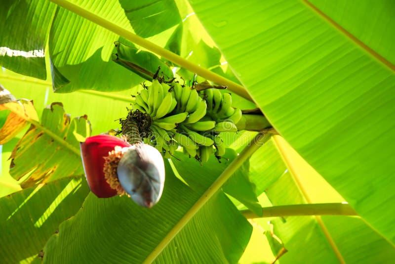 香蕉香蕉束起结构树 库存照片