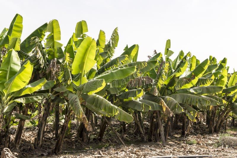 香蕉hoa khanh种植园省越南 免版税图库摄影