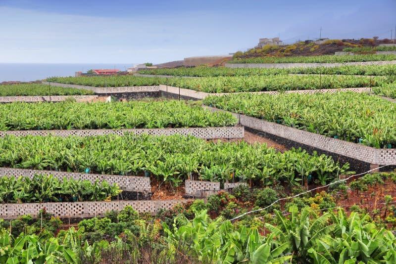 香蕉hoa khanh种植园省越南 库存照片