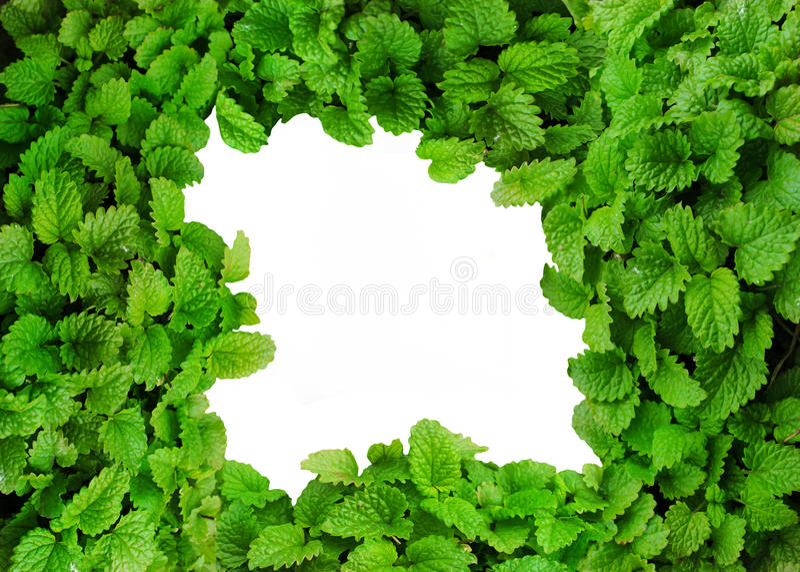 香蜂草新鲜的绿色叶子作为背景 免版税库存图片