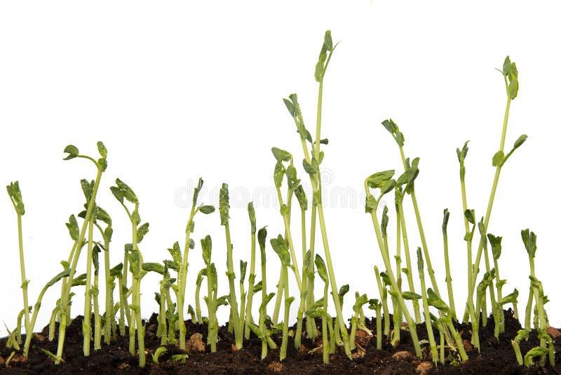 香豌豆花新芽,由年轻豌豆决定纹理的关闭发芽 免版税图库摄影