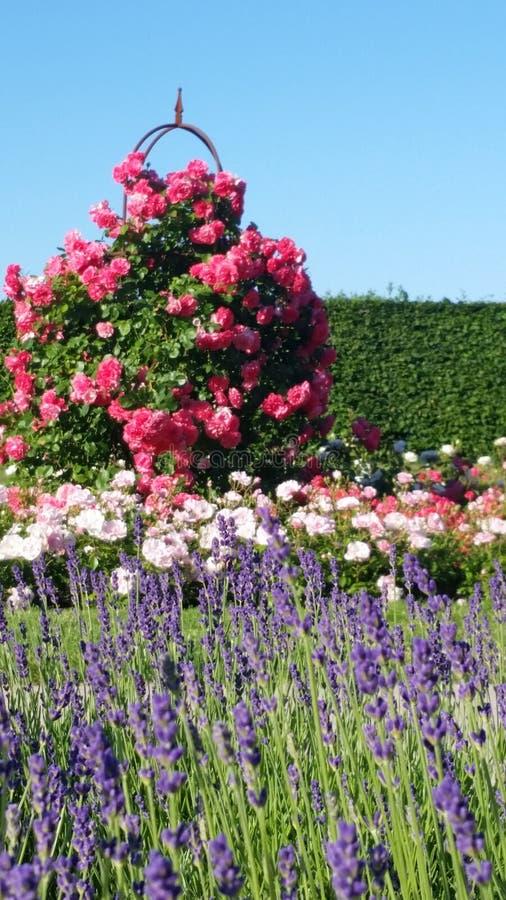香郁年轻淡紫色和玫瑰 库存图片