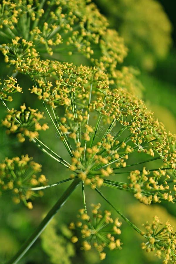 茴香(Foeniculum vulgare) 免版税库存照片