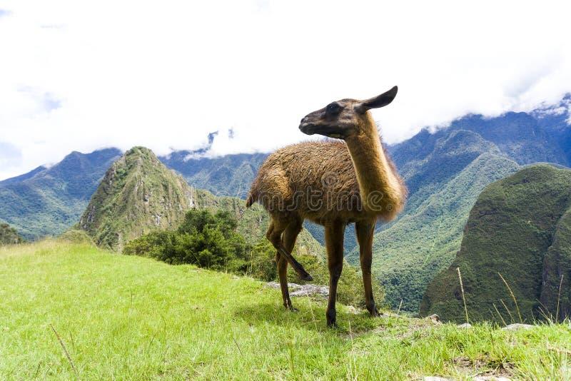 马丘比丘废墟的逗人喜爱的棕色喇嘛在秘鲁丢失了城市 免版税库存照片