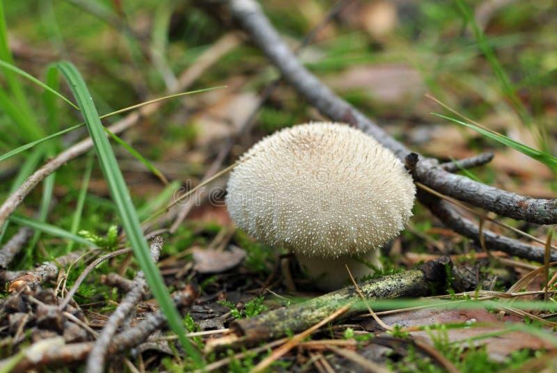 马勃属perlatum或共同的马勃菌, warted马勃菌,宝石stu 免版税库存图片