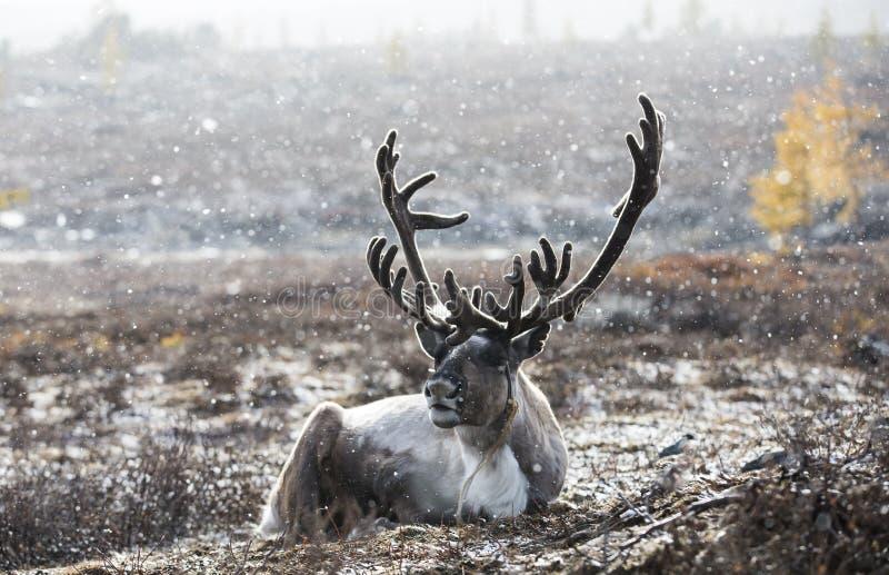 马勒鹿在北蒙古 免版税库存图片