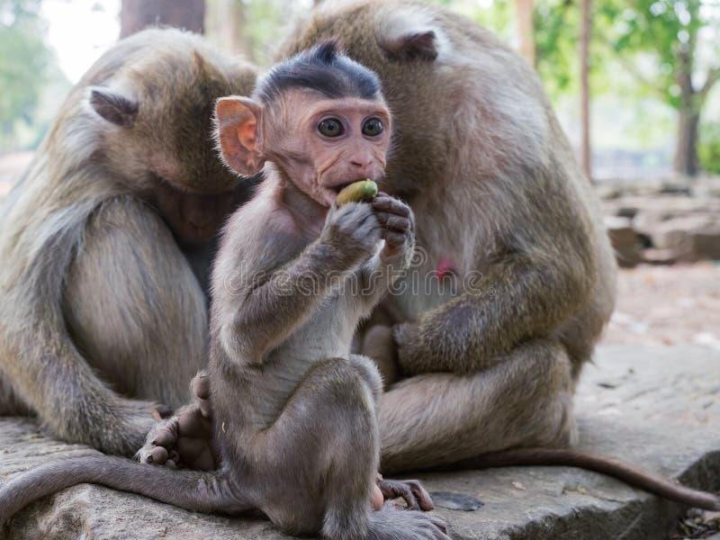 马卡卡莱昂尼纳 一只可爱的猕猴幼崽坐在树干上,坐在家人的前面 图库摄影