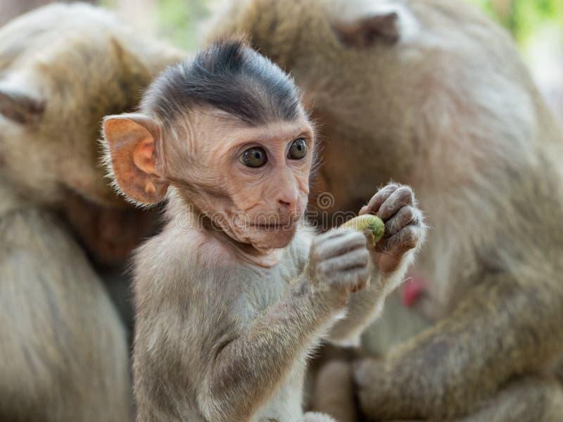 马卡卡莱昂尼纳 一只可爱的猕猴幼崽坐在树干上,坐在家人的前面 免版税库存照片