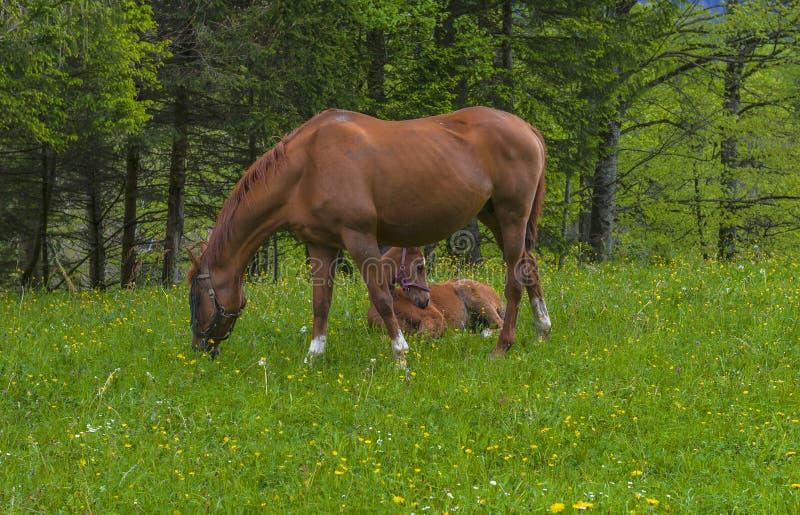 马和不理智在牧场地 免版税库存图片