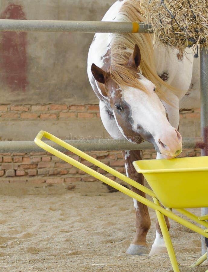 马和哺养 库存照片