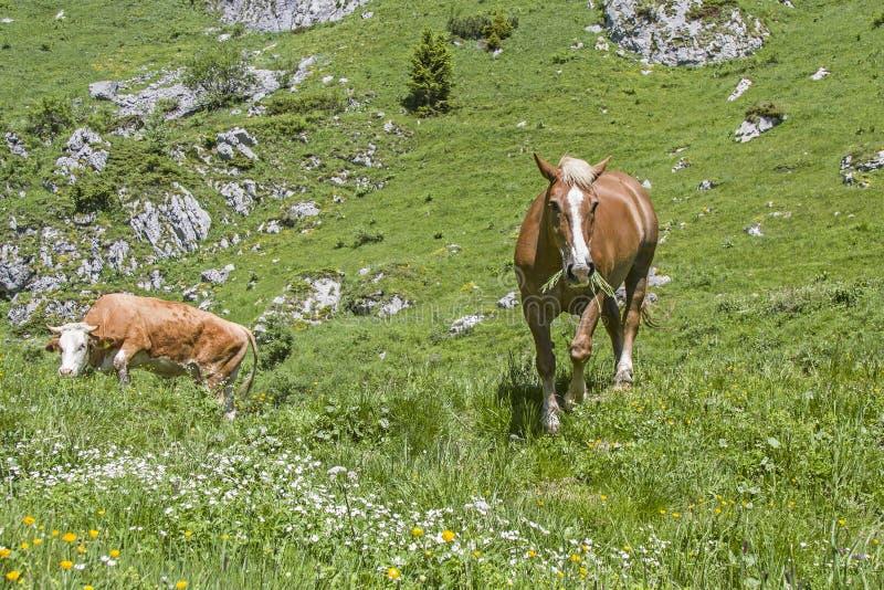马和母牛在一个高山草甸 免版税库存图片