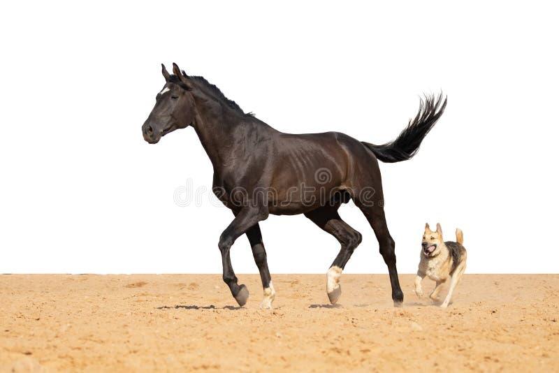 马和狗在白色背景的沙子跳 库存图片