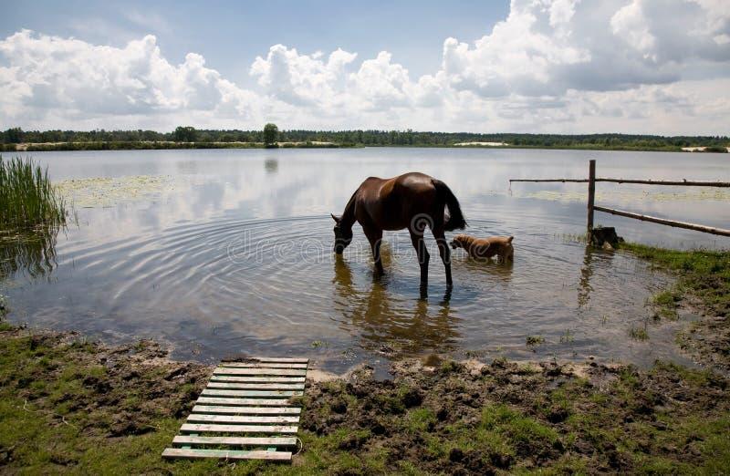 马和狗饮用水在一个清楚的水湖 免版税库存照片