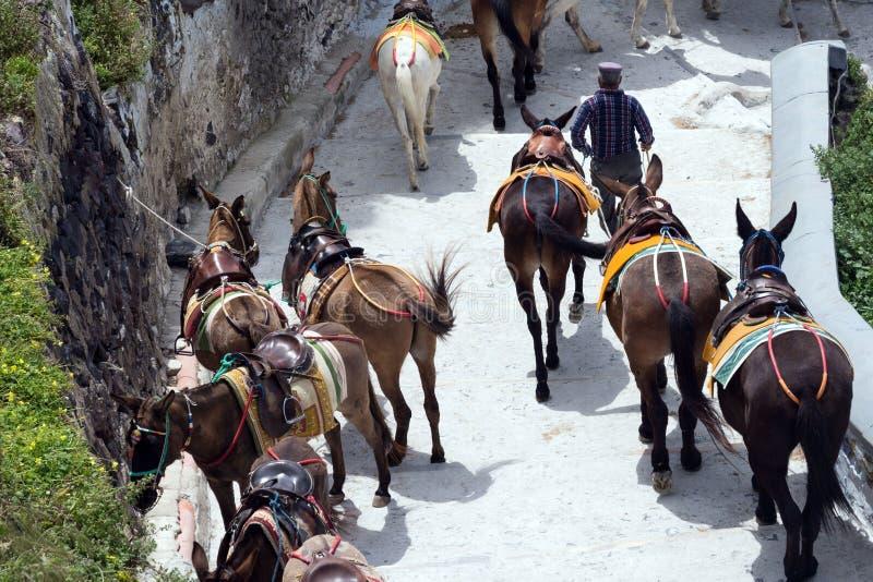 马和驴在圣托里尼海岛-传统运输上游人的 动物 库存照片