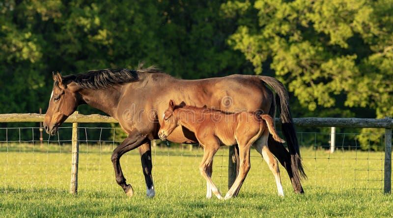 马和驹在晚上太阳 免版税库存图片